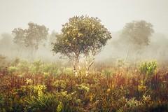 Misty morning. (Allieca Paterson) Tags: allieca tree noosanorthshore mist fog landscape noosa queensland australia