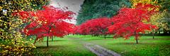 IMG_0607 (bob_rmg) Tags: perrow arboretum tree autumn colour leaves bedale thorp maple avenue
