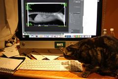 "313/365 Dr. Sasha Inspects Frosty's X-Ray (ruthlesscrab) Tags: wah ""we'rehere"" hereios ""366the2017edition"" 3662017 xray anatomy spine feline kitty cat notmycat day313365 8nov17"
