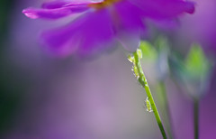 Colour My World... (setoboonhong ( Back and catching up )) Tags: nature flower primula aphids stem petals close up colours sunlight bokeh blur abstract colour my world song petula clark