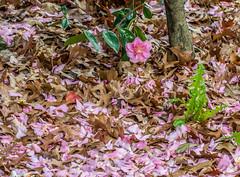 Ground cover. (Omygodtom) Tags: pink gold golden decay season autumn flickr fall leaves flower park perspective nikon natural nature dof digital d7100 nikon70300mmvrlens camera walking leica