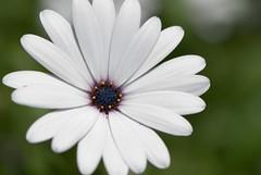 Grateful... (voeuxphotography) Tags: white naturephotography nature macrophotography macro floral flora blossom petals petal flowers flower