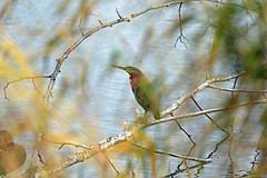 Green Heron - 094A1492a3c3 (Sue Coastal Observer) Tags: green heron grhe butorides virescens brydon lagoon langley bc british columbia canada fall