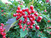 In your face (Lexie's Mum) Tags: continuing30dayswild walking walks walkingthedog nature wildlife scenery floraandfauna red shiny berries