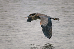GBH In Flight -2549 (RG Rutkay) Tags: cranberrymarsh animals autumn birds marsh nature wildlife greatblueheron wader flight flying heron