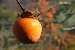 (Marco Tiano) Tags: fruits orange tree autumn 2017 november gift bokeh nature country