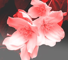 Ponsietta Philadelphus (Pufalump) Tags: ponsietta philadelphus red pink white christmas grey petals tree