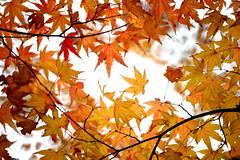 Maple 楓葉 (MelindaChan ^..^) Tags: maple 楓葉 gyeongju skorea 韓國 慶州 plant leave colors autumn fall bokeh minolta250mmf56 chanmelmel mel melinda melindachan
