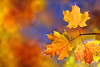 Bye-bye November (lfeng1014) Tags: byebyenovember mapleleaves mapletrees autumncolours autumn autumnleaves autumnmaple fallcolours fall fallenleaves macro macrophotography closeup canon5dmarkiii 70200mmf28lisii dof depthoffield bokeh bluesky lifeng vividcolours