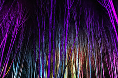 Silver Birches - Winter Light Anglesey Abbey (peterhagger677) Tags: 2017 december2017 nt nationaltrust angleseyabbey winterlights silver birches trees colour