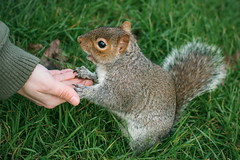 Got any snacks? (empty.and.void) Tags: hydepark royalparks london greatbritain england unitedkingdom uk gb mysecretlondon britishsnaps squirrel animalphotography smallcreatures parklife animalphoto graysquirrel wildlife wildlifephotography