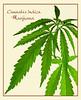 Cannabis Indica ~ Marijuana (WRGreens) Tags: nikodemnijaki cannabisindica marijuana wikimediacommons