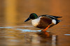 Northern Shoveler (nikunj.m.patel) Tags: northernshoveler waterfowl ducks nature wildlife nikon photography outdoors beauty fall