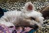 _DSC0105 (m.krema) Tags: aramis dormire divano maltese colore pomeriggio casa bianco treppiedi cagnolino cane domestico melegnano lombardia italia it