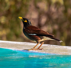 common myna / Indian mynah (Acridotheres tristis) (Peter du Preez) Tags: ifaty toliaraprovince madagascar common mynah acridotheres tristis myna indian