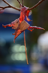 Hold on (James_D_Images) Tags: leaf stuck hanging branch tree fall autumn foliage seasons dying red backlit bokeh blue white sooc