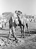 1973-12-23 Kabul camel market (4) (DJHiker) Tags: afganistan
