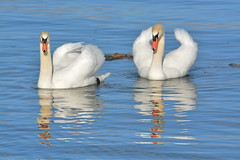 MUDE SWANS (concep1941) Tags: anatidaefamily watersides shallowwaters birds swans