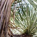 Thompson yucca thumbnail