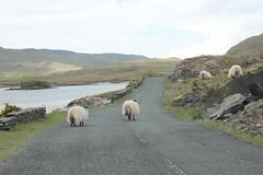 IMG_3292 (avsfan1321) Tags: ireland killaryfjord countygalway countymayo connemara wildatlanticway fjord lake water sheep