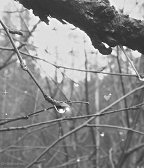 A glimpse of a waterdrop's life. We enjoyed its whole life.  It took its last breath and fell to the ground and we cried Hurray on its way to its destiny and send our love on its last trip❤ (evakongshavn) Tags: 7dwf blackwhite blacknwhite blackandwhite bnwphoto bnw raindrops raysoflight light afternoonlight rain drops waterdrops drop natur new nature naturbilder naturelover earthnaturelife naturescape naturephotography naturelovers fantasticnature naturphotography naturaleza beautifulearth heavenonearth earthswonder earthy tree noiretblanc weather