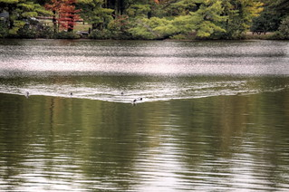 Loons at Fish Creek Ponds 07