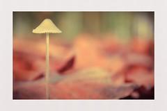 Delicate (hall1705) Tags: delicate autumn autumnleaves mushroom fungi westsussex woods nikon1j5 nature closeup itsasmallworld depthoffield dof