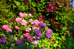 June in the Garden (Mark Wordy) Tags: mygarden summer june clematisetoiledeviolette roseharlowcarr roses flowers