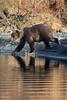 Journey (wyrickodiak_9) Tags: kodiak alaska brown bear grizzly sow cubs fishing river island mammal wildlife apex predator