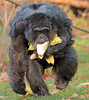 chimpanzee Burgerszoo BB2A6418 (j.a.kok) Tags: chimpanzee chimpansee aap ape monkey burgerszoo animal africa mammal mensaap primaat primate zoogdier dier