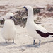 Blue-faced booby & large downy chick. Latham Island. Cover III ?