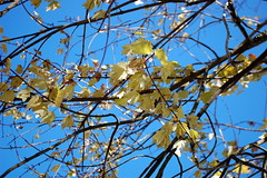 Tree Branches And Autumn Leaves. (dccradio) Tags: lumberton nc northcarolina robesoncounty outdoors outside morning goodmorning fall autumn harvest nikon d40 dslr sky bluesky nature natural tree trees foliage autumnfoliage fallfoliage