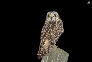 Coruja do Nabal, Short-eared Owl (Asio flammeus)