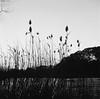 phragmites at sunset (V-A-B) Tags: film analog trix400 hc110 dilutionh yashica635 lake phragmites sunset blackwhite oaklandlake newyorkcity queens