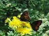 IMG_2674 (FILEminimizer) (bouillons vagabonds) Tags: bosnie lépidoptères rhopalocères