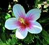 Hibiscus flower . (Franc Le Blanc .) Tags: indonesia bali flower hibiscus flora macro