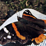 Red admiral on photographer thumbnail