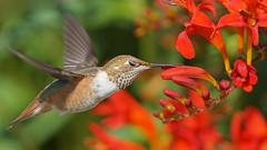 Rufous Hummingbird (photosauraus rex) Tags: rufous rufoushummingbird bird selasphorusrufus vancouver bc canada hummingbird