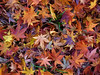 Symphony of color (Jer*ry) Tags: autumn fall leaf leaves japanesemaple ground