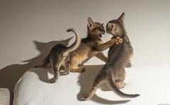 One Flash Fight 8 (peter_hasselbom) Tags: cat cats kitten kittens abyssinian 8weeksold flash 1flash onwhite 50mm 3cats 3kittens play playing playfight fight hardlight strobist