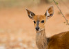 Bushbuck (dunderdan77) Tags: bushbuck buck bush portrait wildlife outdor outdoors ears ear nature safari nikon tamron d500 150600 kruger national park south africa