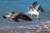 (JOAO DE BARROS) Tags: barros joão nature bird seagull