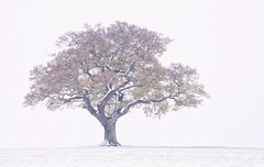Autumn Leaves For Winter (Captain Nikon) Tags: lonetree silhouette melbourne derbyshire england greatbritain landscapephotography snow winter autumn leaves moody nikond7100 nikon18105mm