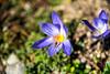 Pracht-Herbst-Krokus (Crocus speciosus) mit Schwebfliege (chrummi) Tags: bürgenstock schweiz switzerland herbst berg autumn blume hainschwebfliege schwebfliege herbstblume speciosus krokus crocus