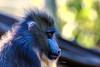 mandrill monkey (Paul Wrights Reserved) Tags: mandrill monkey ape bokeh backlight backllit animal mammal hair hairy cute intense portrait stare staring thoughtful thinking ear eye zoo colour light sun sunlight nature