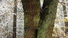 One Year ago (offroadsound) Tags: trees twintrees twintrunks firstsnow kiss winter´skiss