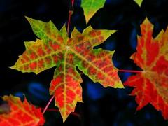 Herbst (Wallus2010) Tags: blatt herbst ahorn laub farbe nahaufnahme