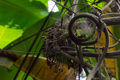 Death Spiral (Stephen T Slater) Tags: 2017 gangtok india sikkim cable leaves palmtree web wires wiring