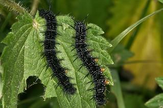 Aglais io. Chenilles de paon du jour, caterpillars of peacock.