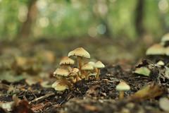 Mushroom family portrait (Heathermary44) Tags: mushrooms macro closeup fungi bokeh forest fall autumn leaves nature naturephotography
